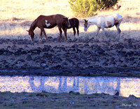 Steens Mountain wild horses mustangs